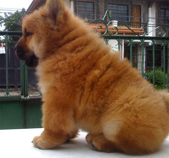 Golden Fluffy Chow Chow Chow Chow Puppy Chow Chow Chow Chow Dogs