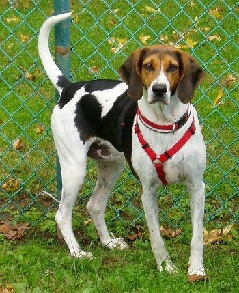 Daiseybug The American Foxhound Standing In Grass Wearing A
