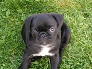 Adopt Bruiser On Black Pug Puppies Pug Puppies Dogs