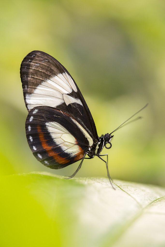 Postman Butterfly 画像あり 蝶 虫