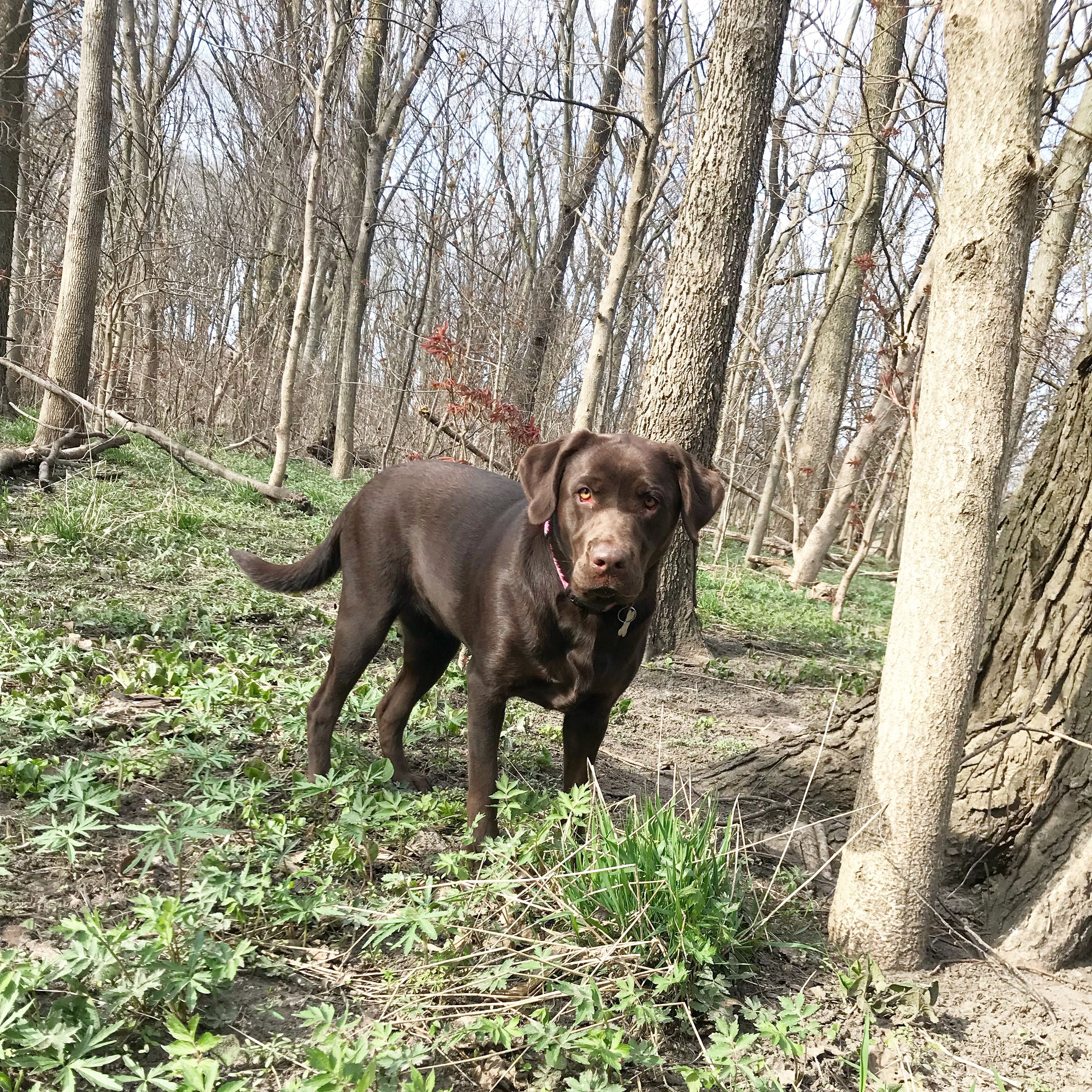 Ellie Mae River S One Year Old Chocolate Lab Cute Dogs Dogs I Love Dogs