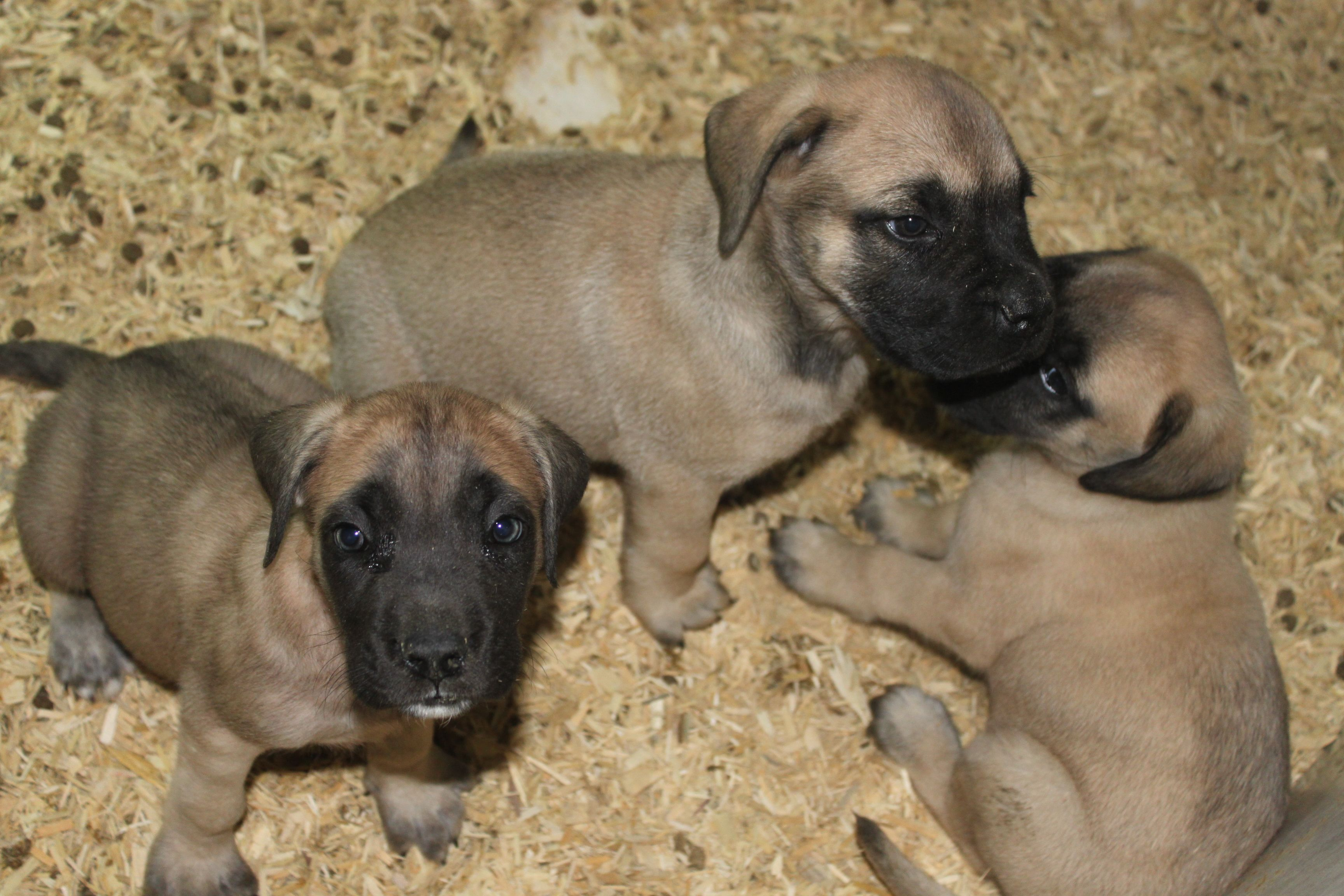 English Mastiff Here Is A English Mastiff Puppy For Sale At Http