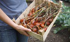Damit Zwiebeln im Winterlager lange halten, dürfen sie nicht zu früh geerntet werden – warten Sie deshalb ab, bis das Laub weitgehend verwelkt ist. Unsere Tipps zur Ernte und Lagerung von Speisezwiebeln.