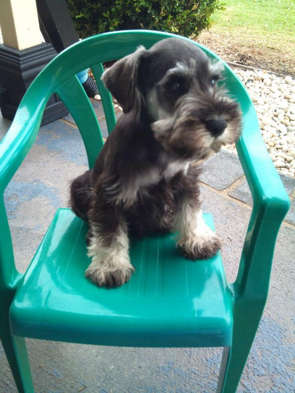 Miniature Schnauzer Male 8 Weeks Black Silver This Little Guy Is