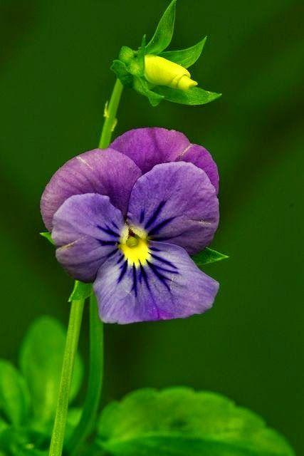 Purple Pansy In 2020 Stiefmutterchen Pflanzen Blumen Pflanzen
