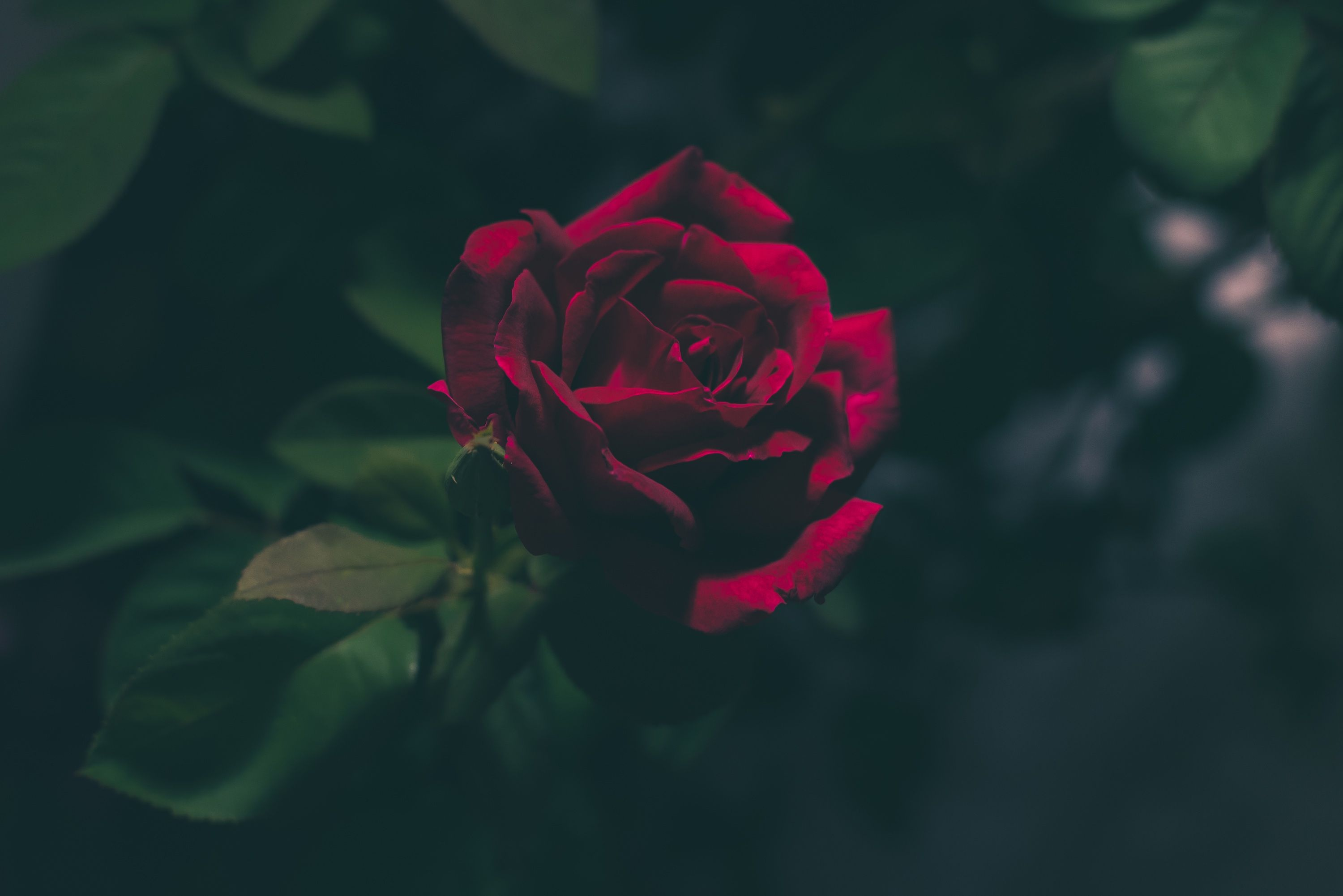 Photo by Jez Timms Unsplash Unsplash 赤い花, バラ, 花 背景