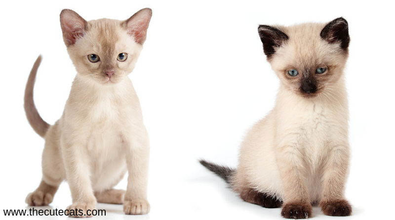 Most Loving Cat Breeds If You Are Confuse To Find One Burmese Cat Cat Breeds Siamese Cats