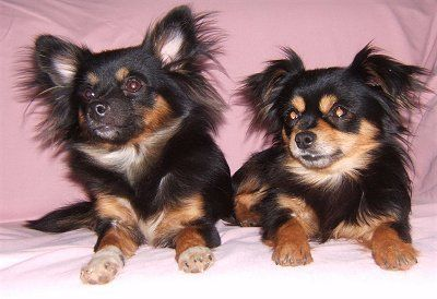 Toy Chihuahua Long Hair Pomchi Dog Breed Pictures