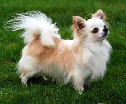 The Cutest Long Haired Chihuahua Pictures Chihuahua Breeds