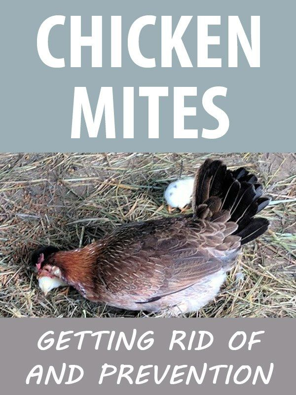 Chicken Mites Getting Rid Of And Prevention New Life On A Homestead Homesteading Blog Chickens Backyard Pet Chickens Urban Chicken Farming