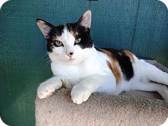 Lathrop Ca Domestic Shorthair Meet Cameo A Cat For Adoption