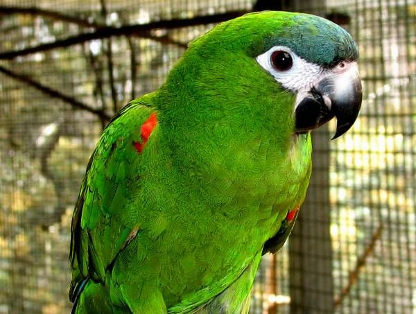 Lost Macaw Parrot / Bird Venice, Florida, FL, United