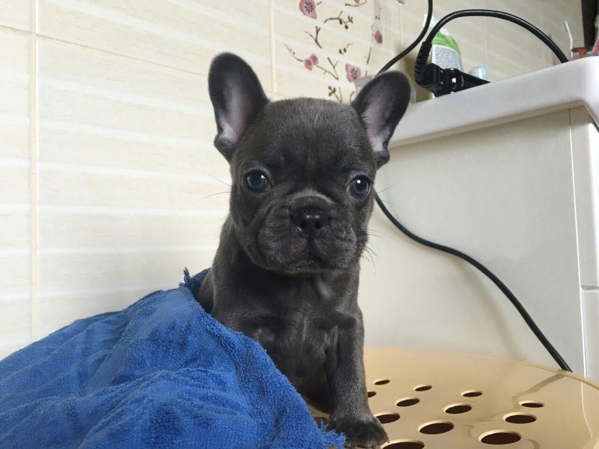 Rare Color Elite French Bulldog Puppy For Sale From Europe In Excellent Breed Type Male Blue Color Em 10 4 Bulldog Puppies Bulldog Puppies For Sale French Bulldog Puppy