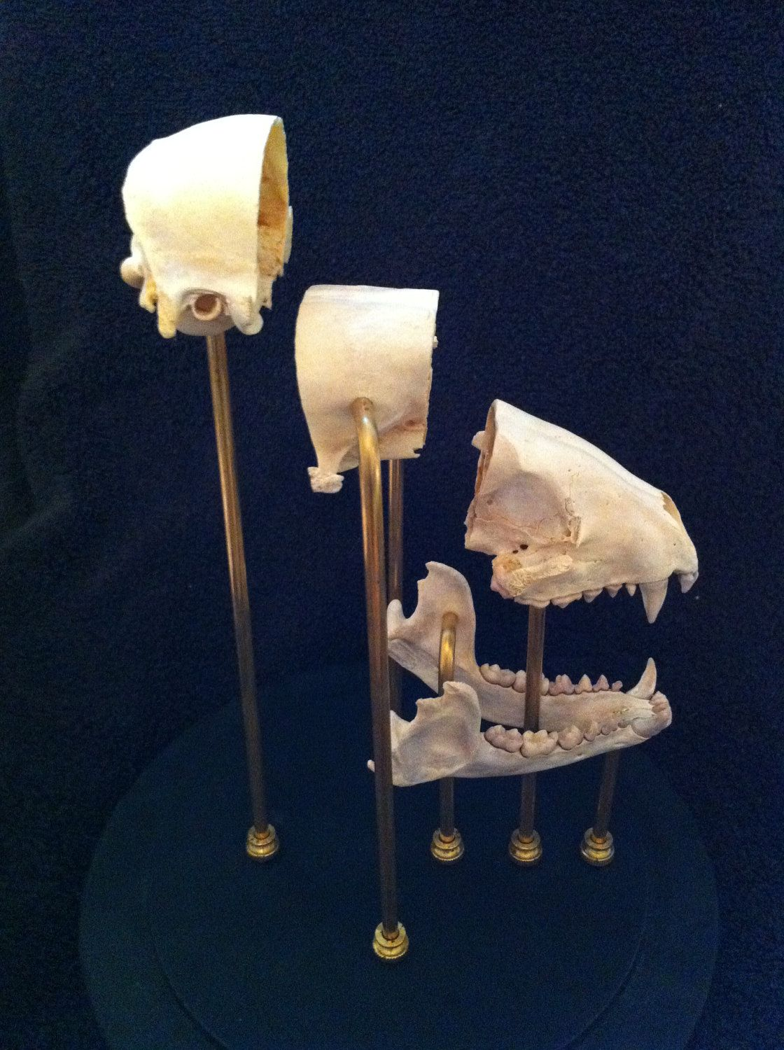 Dissected Raccoon Skull Glass Dome Mount Oddities Taxidermy. $275.00, via Etsy.