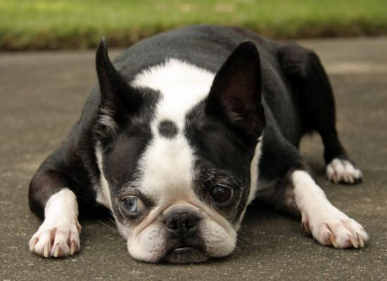 what does a boston terrier look like boston terrier what my boy will look like when he s old 3268