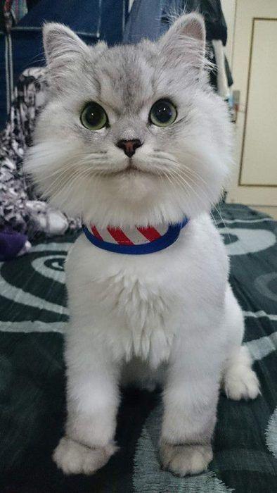 ยลโฉม Lele แมวเหม ยวหน าย ม ท ไม ว าจะน ง นอน หร อทำอะไร ม นก ป นหน าย มได ท งว น Cats Cute Animals Animals And Pets