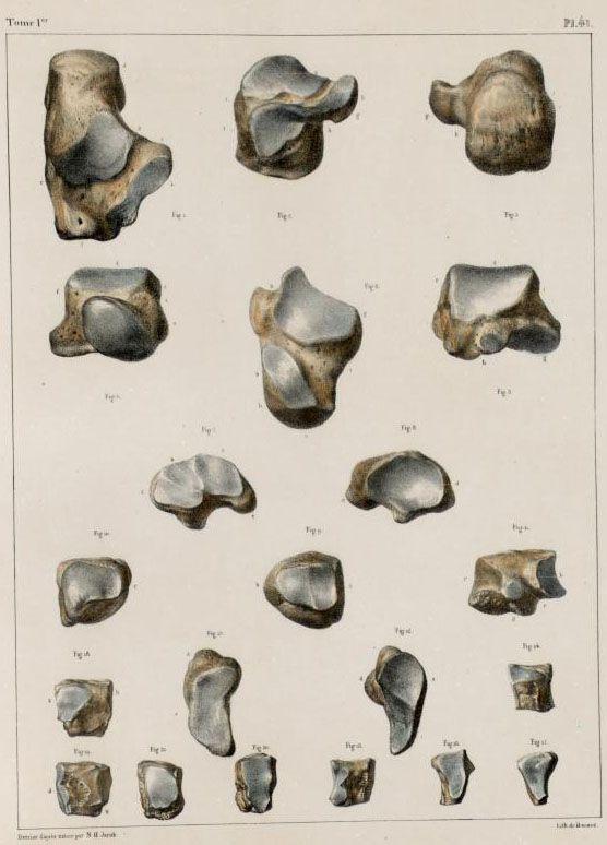 Tarsal bones, Traité complet de l'anatomie de l'homme ...
