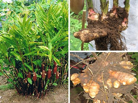 how to grow ginger outdoors