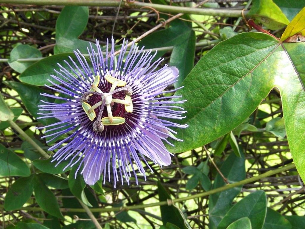 Purple Passion Flower Purple Passion Flower Rainforest Flowers Passion Flower