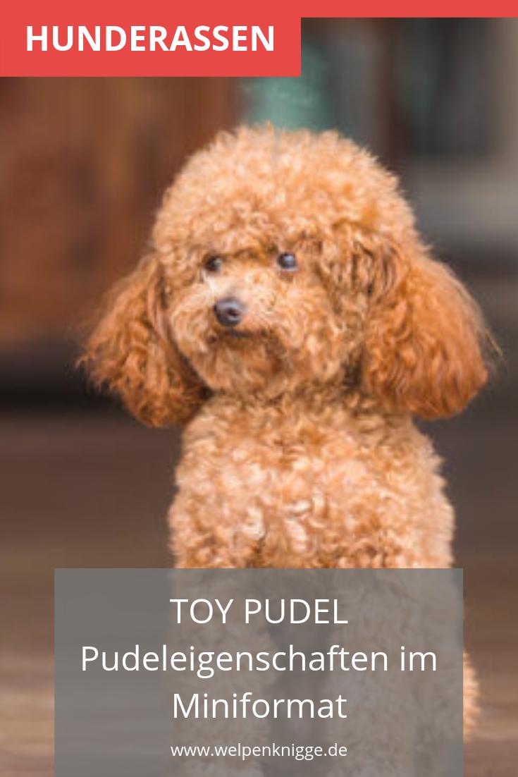 Toy Pudel Welpen Pudel Welpen Toy Pudel Welpen