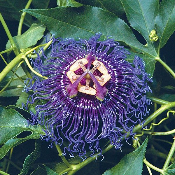 Passion Flower Inspiration Passiflora Hybrid Large Flowers Deep Purple Color And Fragrance Are Brought Together I Passion Flower Fragrant Plant Passiflora