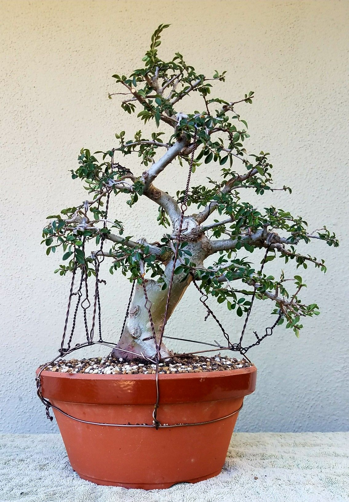 Picture 4 - I did some pruning and wiring on my Chinese Elm. 6/29/17