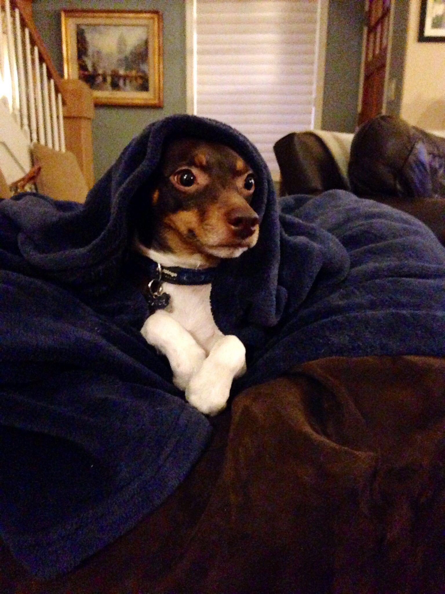 Rat Terrier Hiding Under A Blanket Rat Terriers Terrier