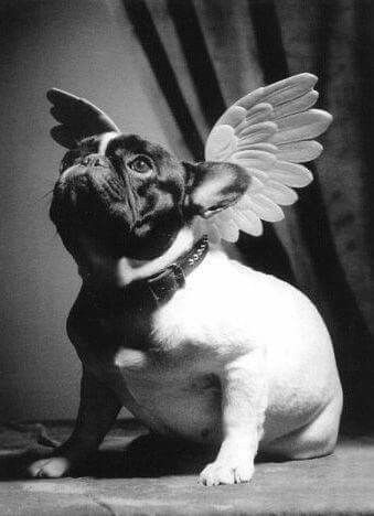 French Bulldog What An Angel Frenchie Bulldog French Bulldog Art