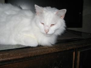 abbd292def015a Winter is an adoptable Domestic Long Hair-White Cat in Leesburg