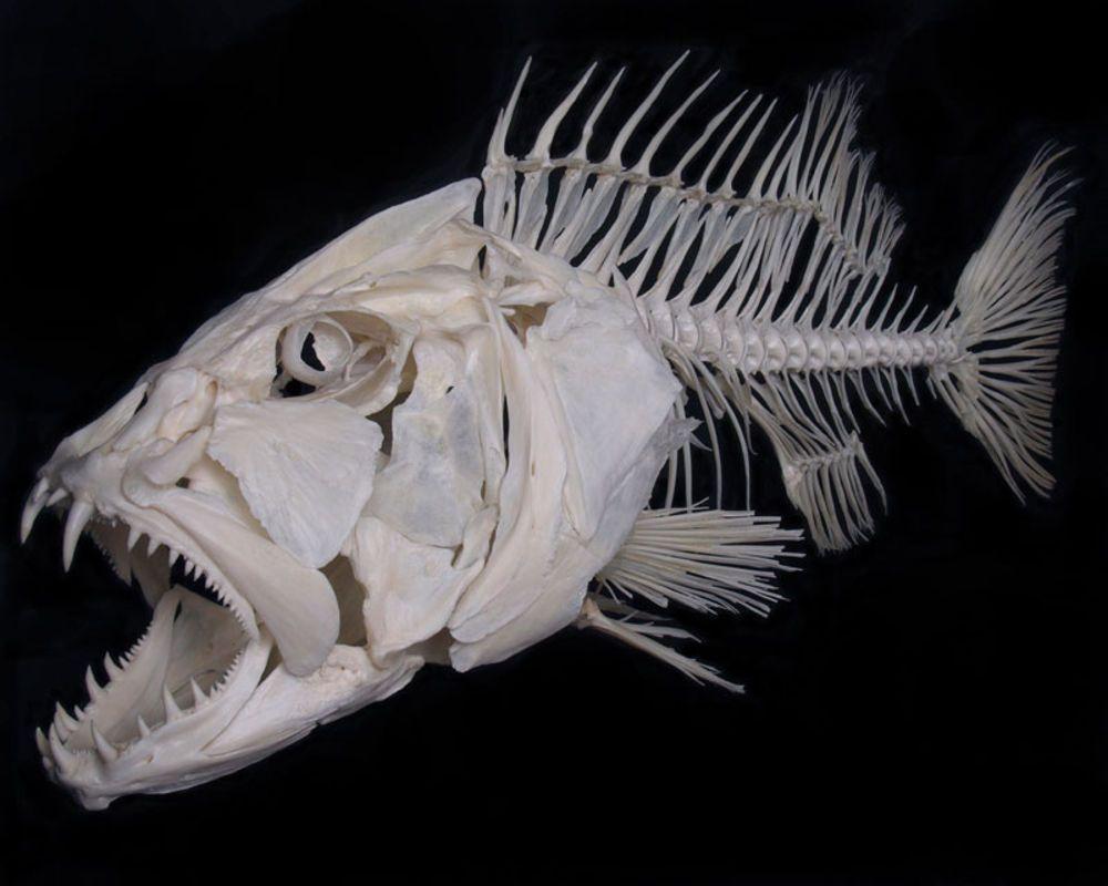 Cubera Snapper Fish Skeleton Bones Skeleton