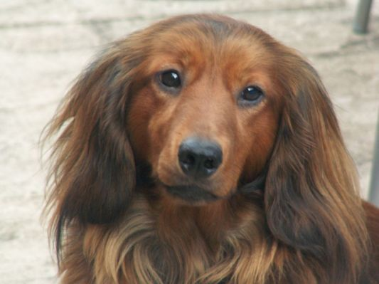 Standard Long Haired Dachshund Dachshund Puppy Long Haired Long