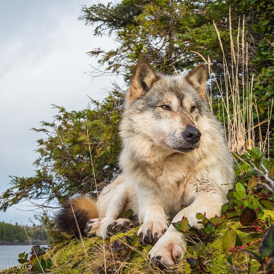 таким очень необычные картинки волков фото происходит