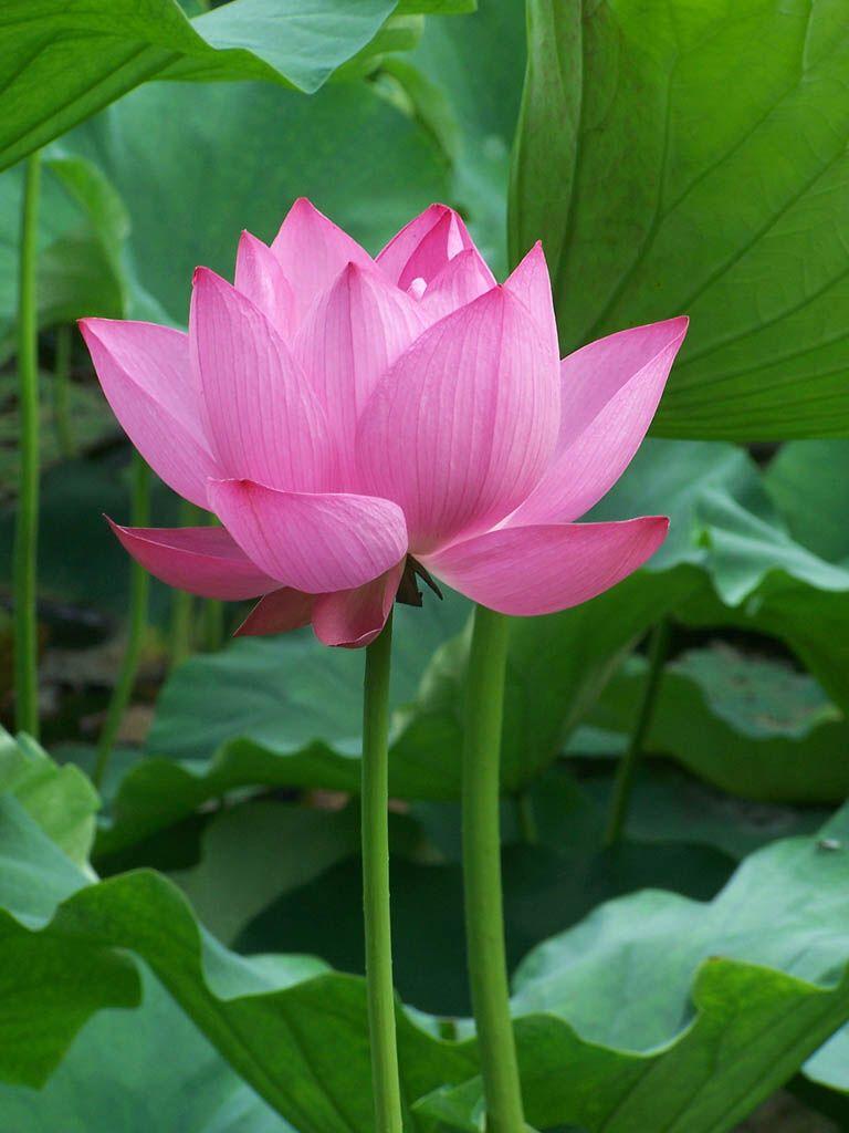 Flower flowers lotus water lilies pinterest water lilies flower izmirmasajfo