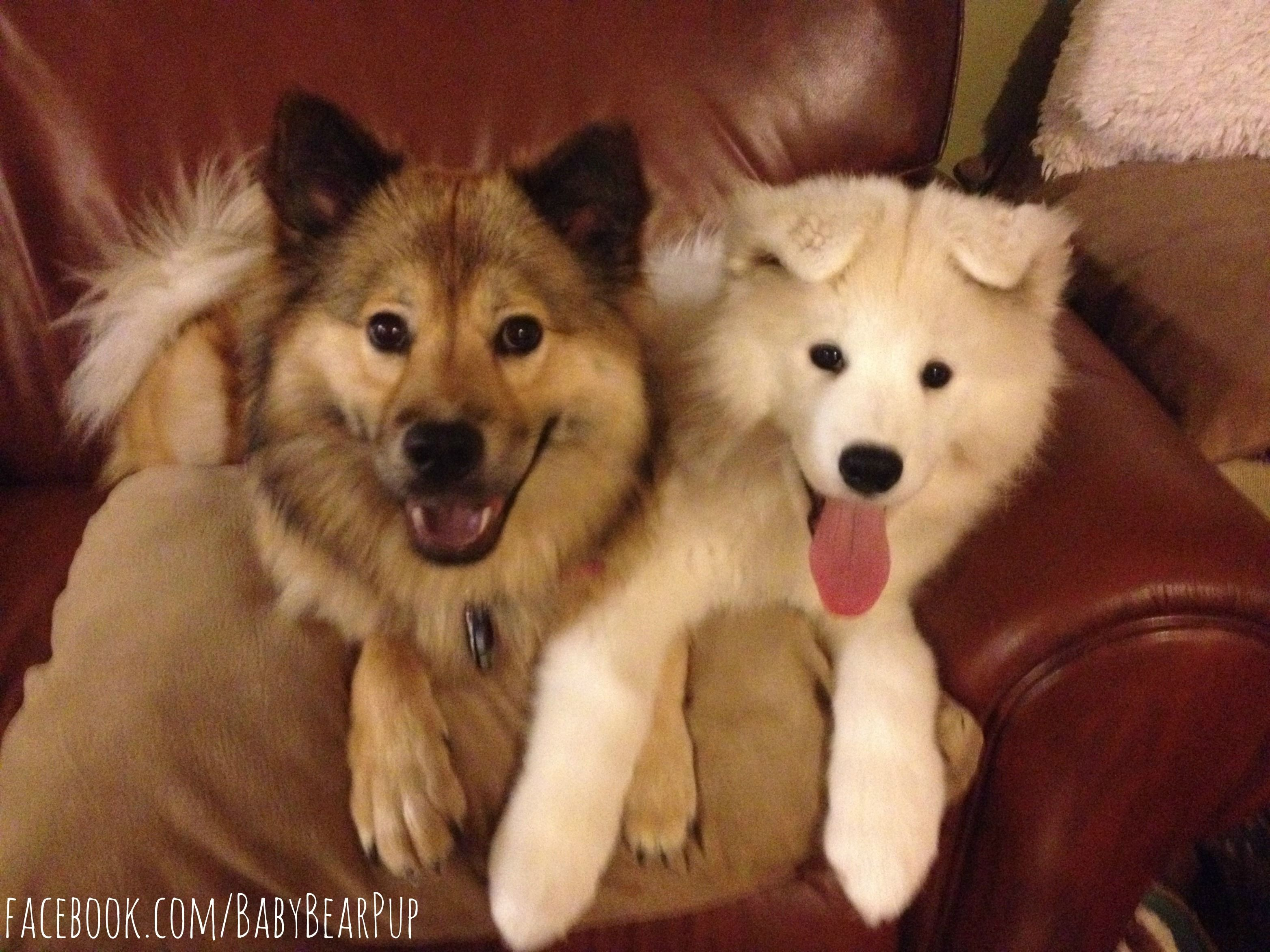 Best Friends Baby Bear Winston They Are A Keeshond Chow Mix