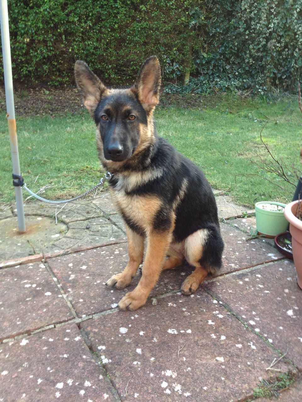 6 Month Old German Shepherd Husky Mix Dog Breed Information S