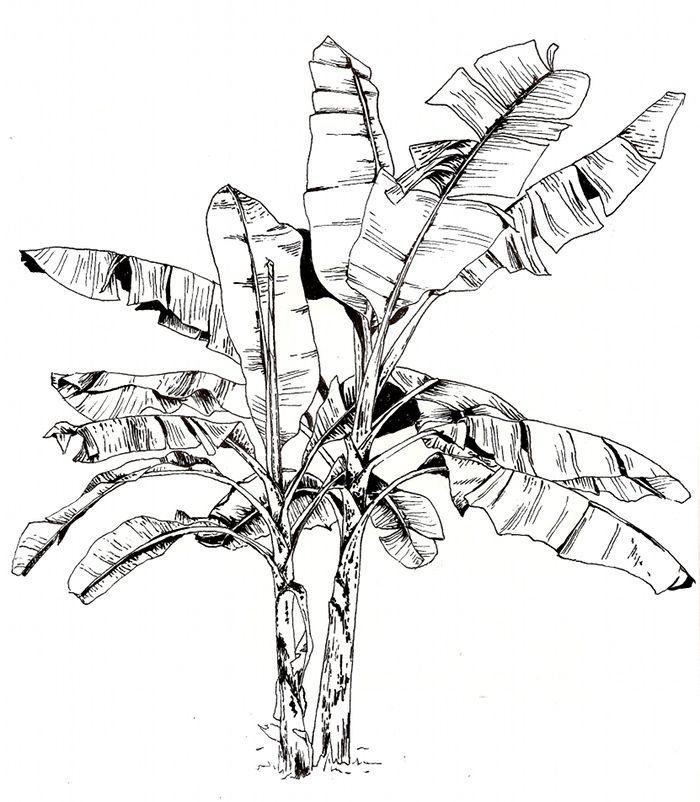 Image Result For Banana Tree Illustration