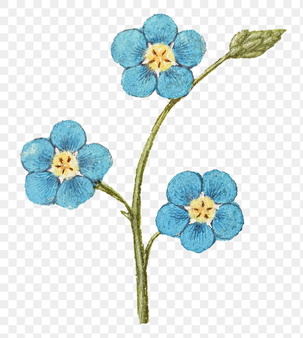 Png Forget Me Not Flower Free Image By Rawpixel Com Eve Free Png Free Illustrations Forget Me Nots Flowers
