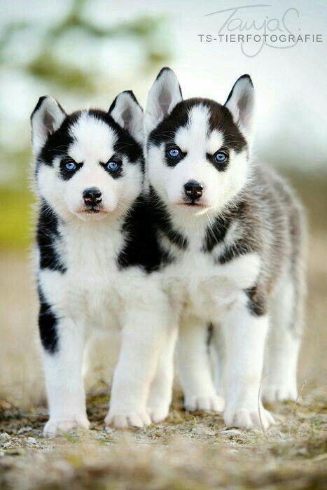 Two Husky Puppies Siberian Husky Puppies Puppies Animals Beautiful