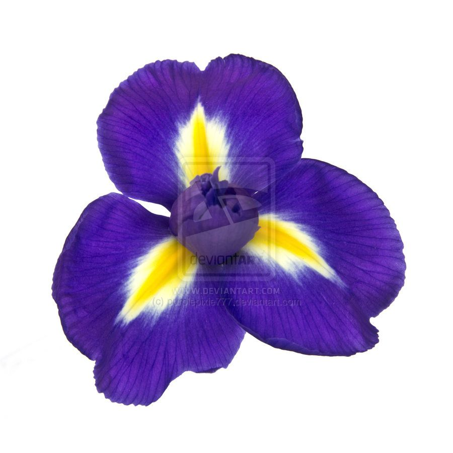 Iris Flower Quotes. QuotesGram Iris flowers, Purple iris