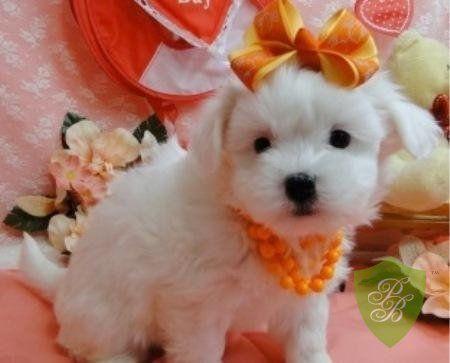 Puppies For Sale Maryland Coton De Tulear Breeders Coton De