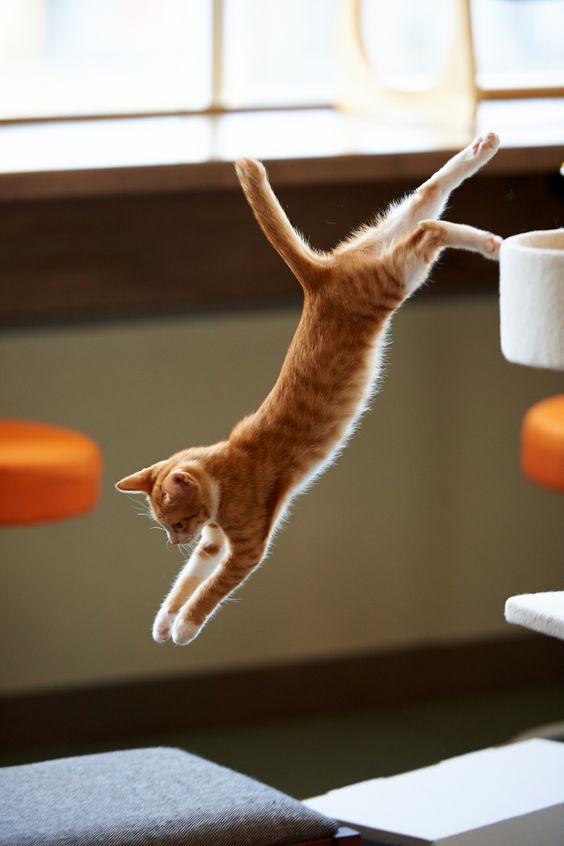 World Jump Day 22 Amazing Cats In Flight Pictures Cattime Jumping Cat Orange Tabby Cats Cat Pose