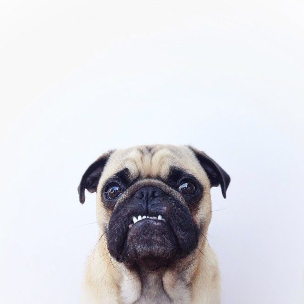 Angry Pug Via Jeremy Veach Jeremy Veach Pugs Pugs Funny