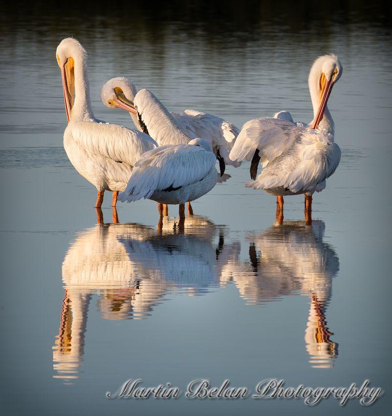 White Pelican Reflection - Ding Darling Wildlife Refuge