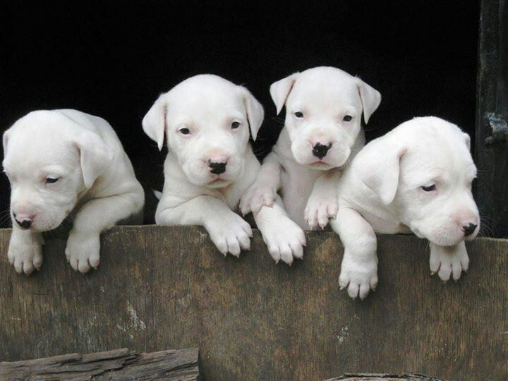 Dogo Argentino Puppies Dog Argentino Dog Breeds Puppies