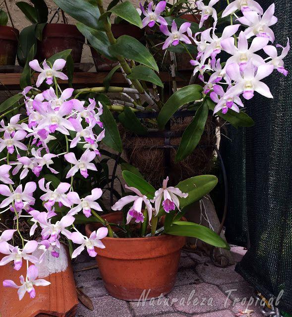 M s de 25 ideas incre bles sobre sustrato para orquideas en pinterest flores orquideas como - Como cuidar las hortensias en maceta ...