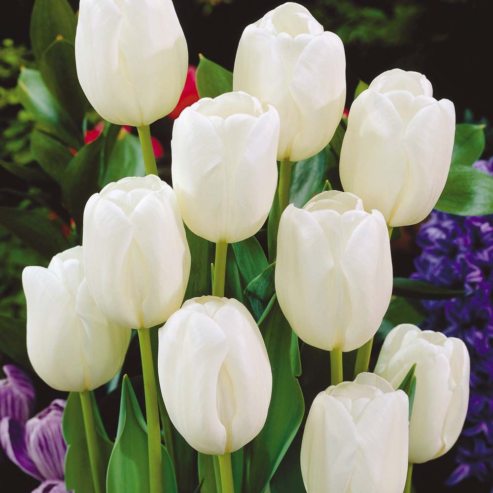 Tulipa white dream google pinterest tulip image search results for white dream tulips dhlflorist Image collections