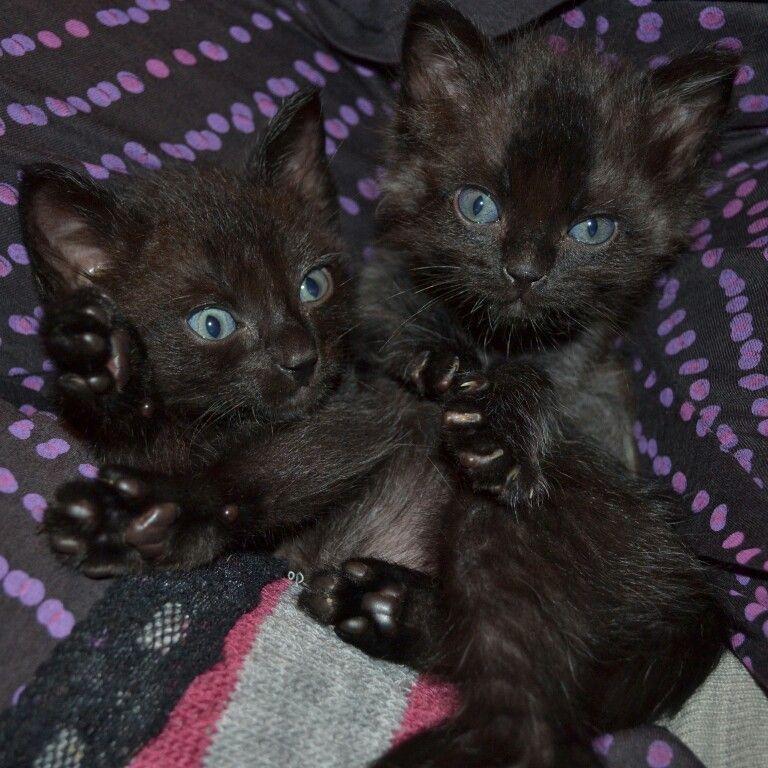 Hermosos gatos negros de ojos azules.  Beautiful black cats with blue eyes!!!