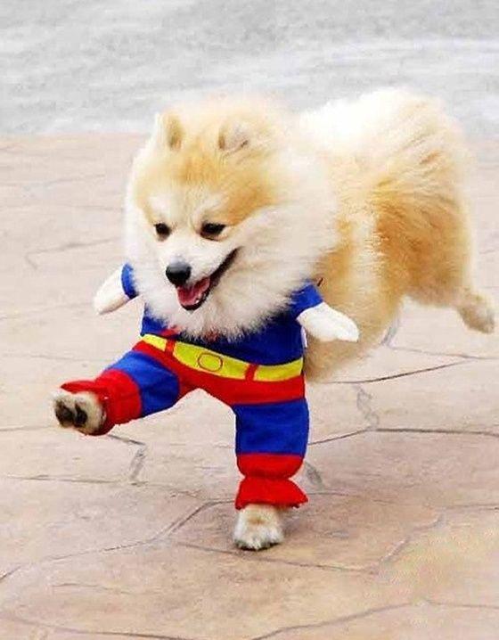 Thai Kickboxing Pomeranian In A Superman Costume Immagini
