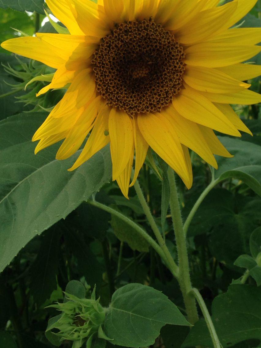 Sunflowers Plants Garden Sunflower