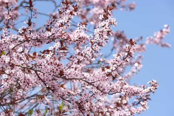 The Types Of Flowering Trees In New England Ehow Com Japanese Cherry Tree Flowering Cherry Tree Flowering Trees